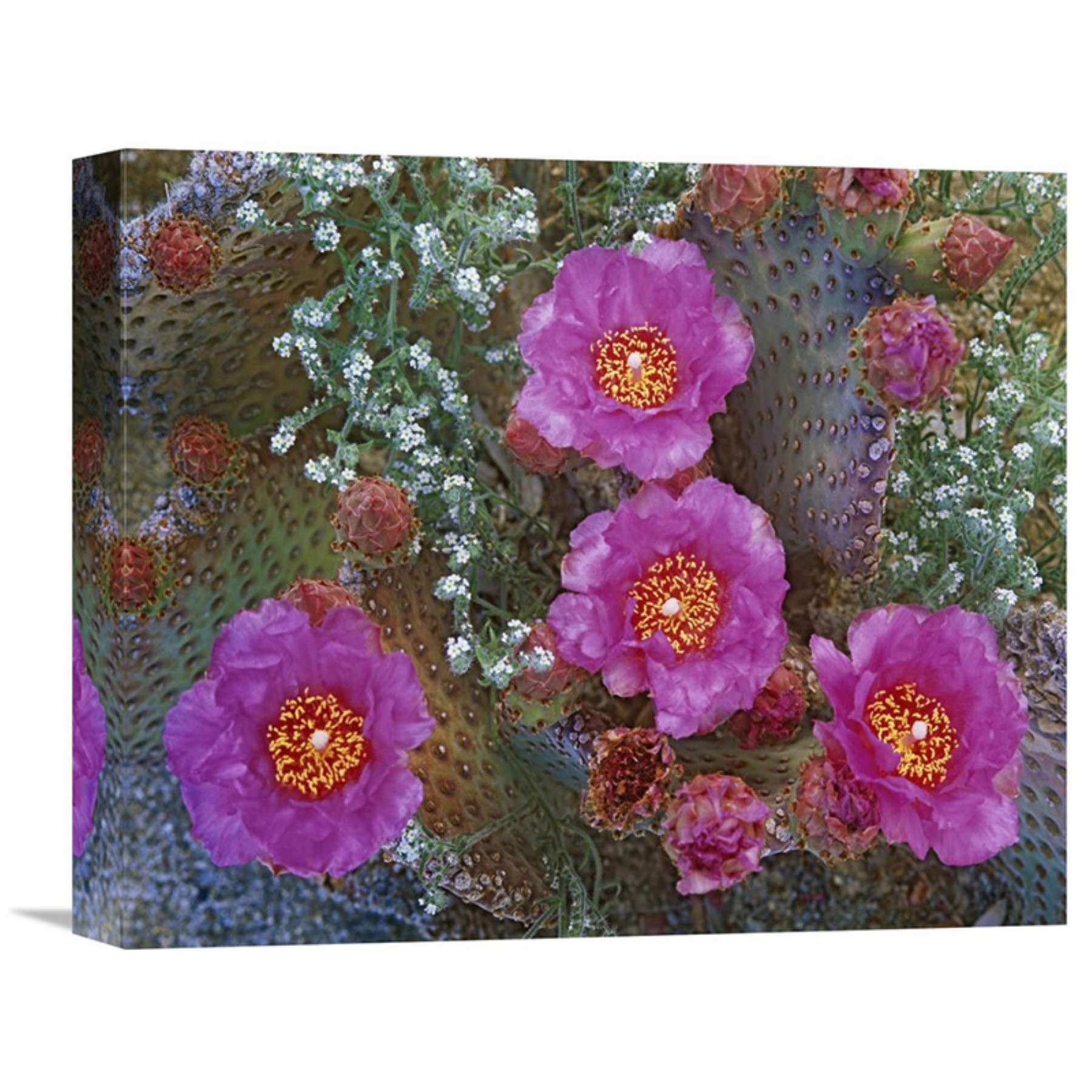 Arizona Wall Art Beautiful Global Gallery Beavertail Cactus Flowering Arizona Wall Art Gcs