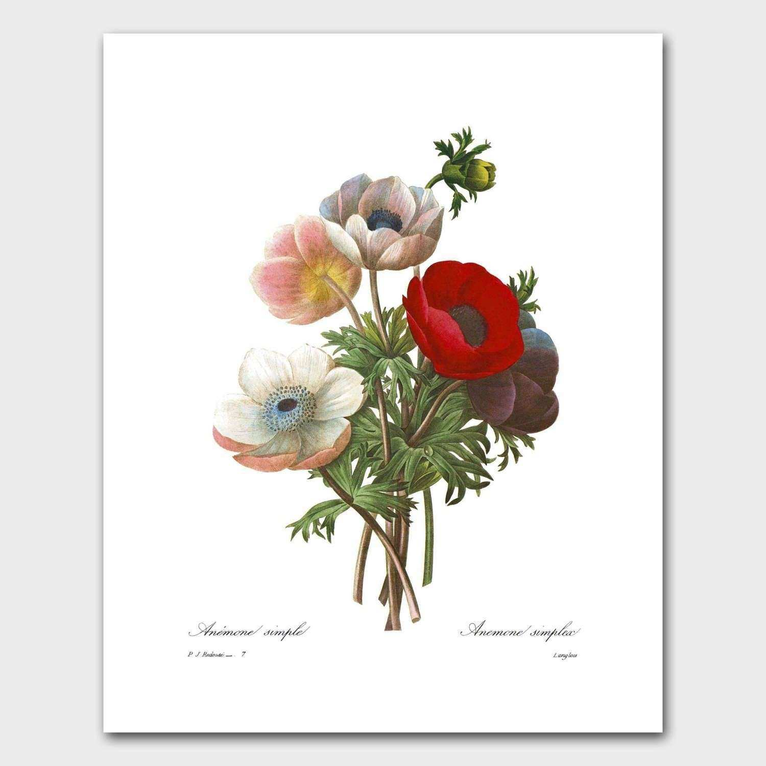 Botanical Print Red Poppy Art French Country Wall Decor Pierre