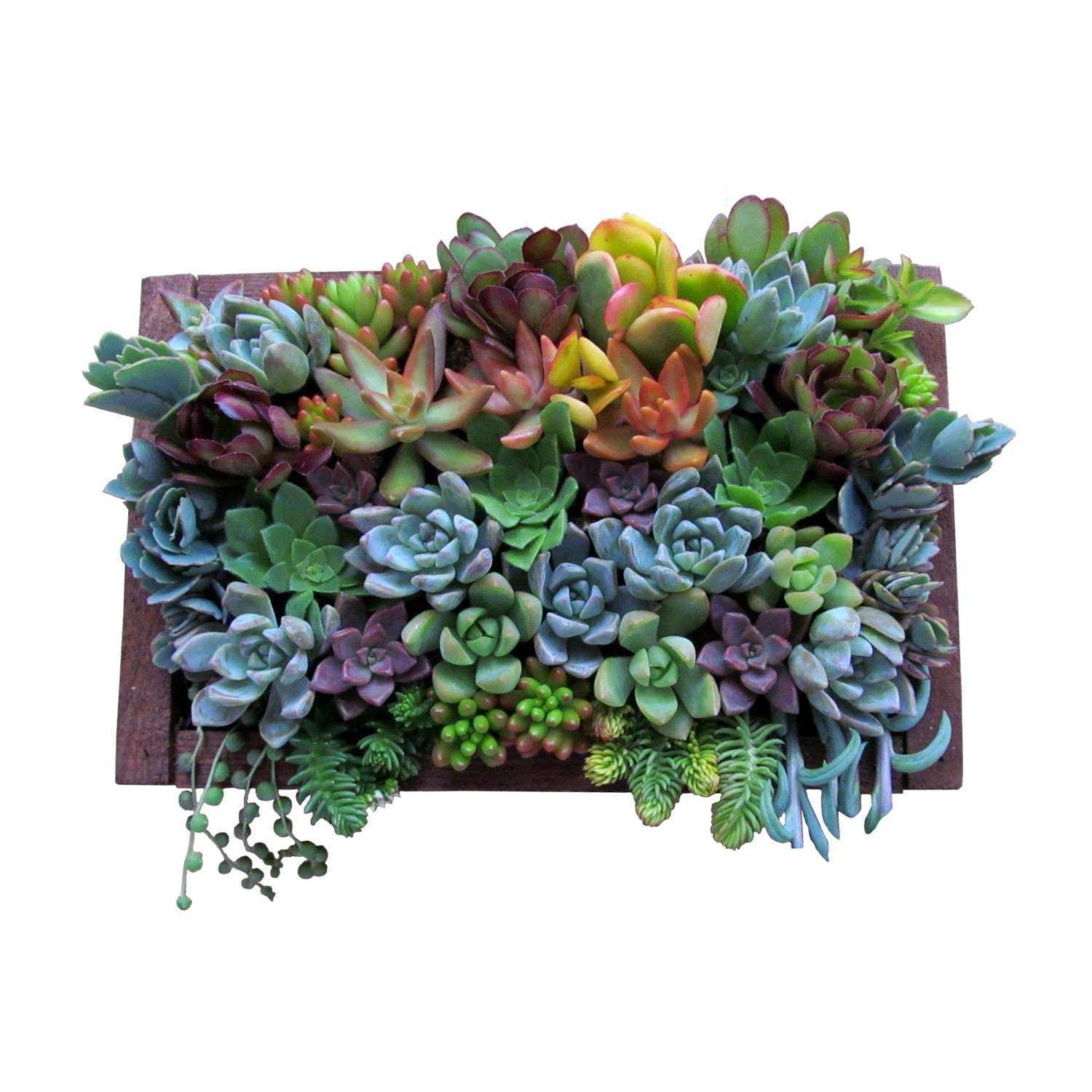 Real succulent plants for a hanging wall garden Gorgeous