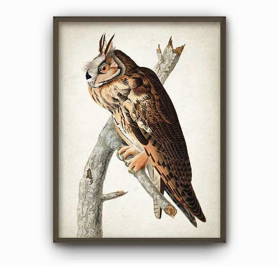 Long Eared Owl Vintage Illustration Wall Art Poster Birds of