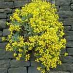 Wall Pictures With Flowers Lovely File Yellow Flowers In The Wall Wikimedia Mons Of Wall Pictures With Flowers