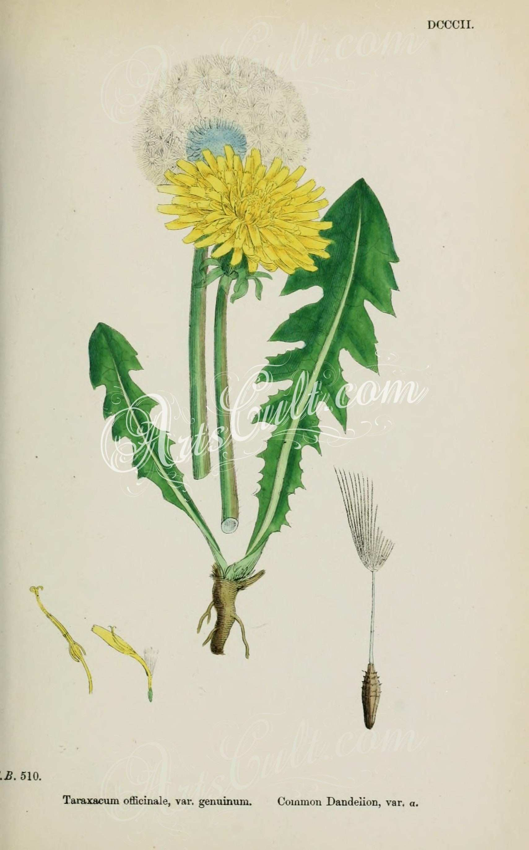 mon Dandelion taraxacum officinale genuinum