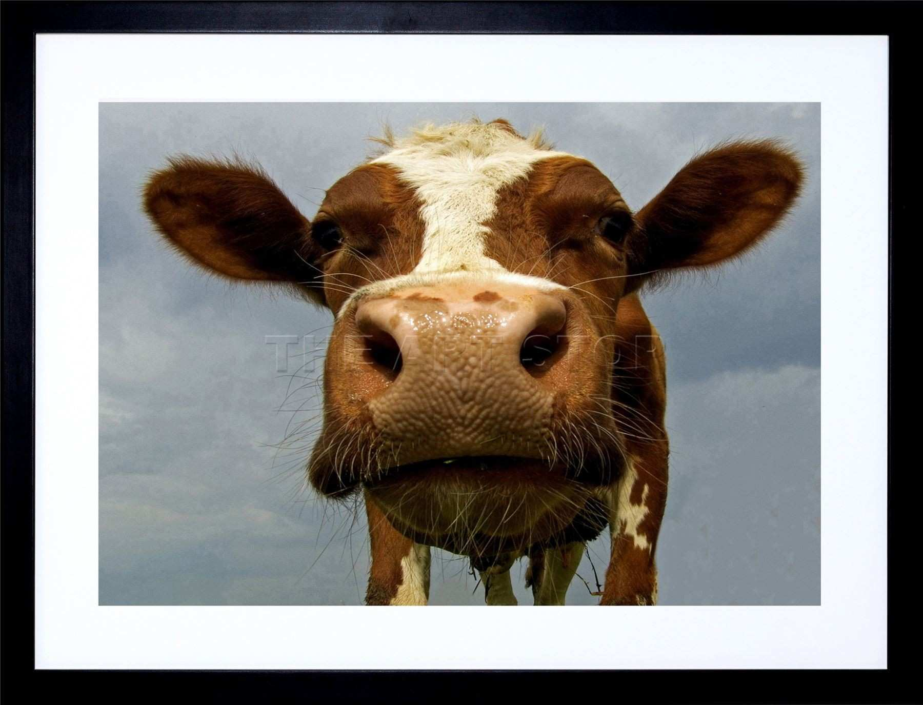 FUNNY COW FARM ANIMAL CLOSE UP PHOTO FRAMED ART PRINT PICTURE