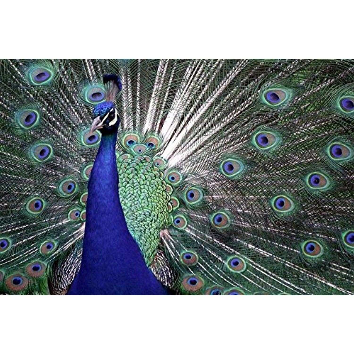 Peacock Shows Its Feathers Art Print Poster Wall Decor Home Decor