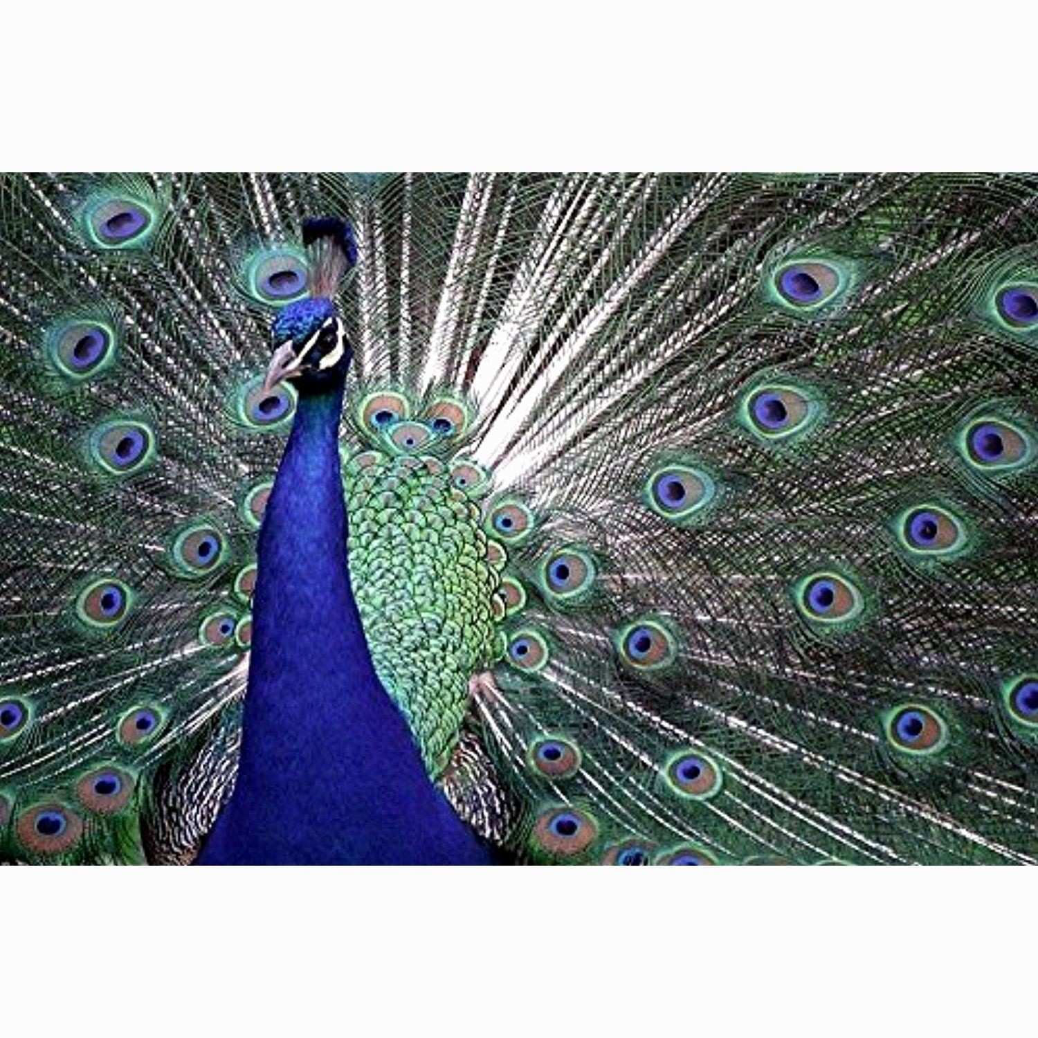 Aqua Home Decor New Peacock Shows Its Feathers Art Print Poster Wall