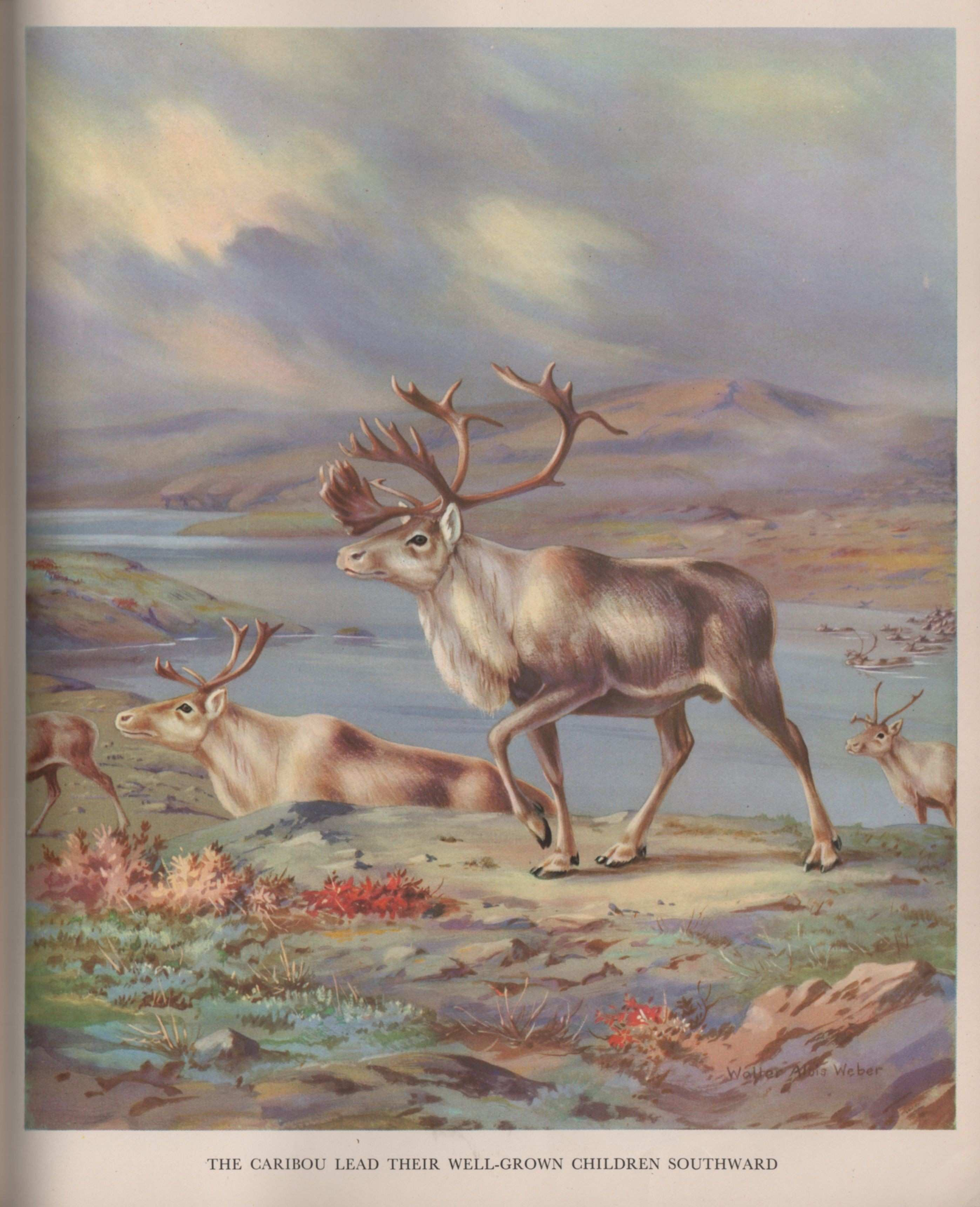 Caribou illustration from Homes and Habits of Wild Animals 1934