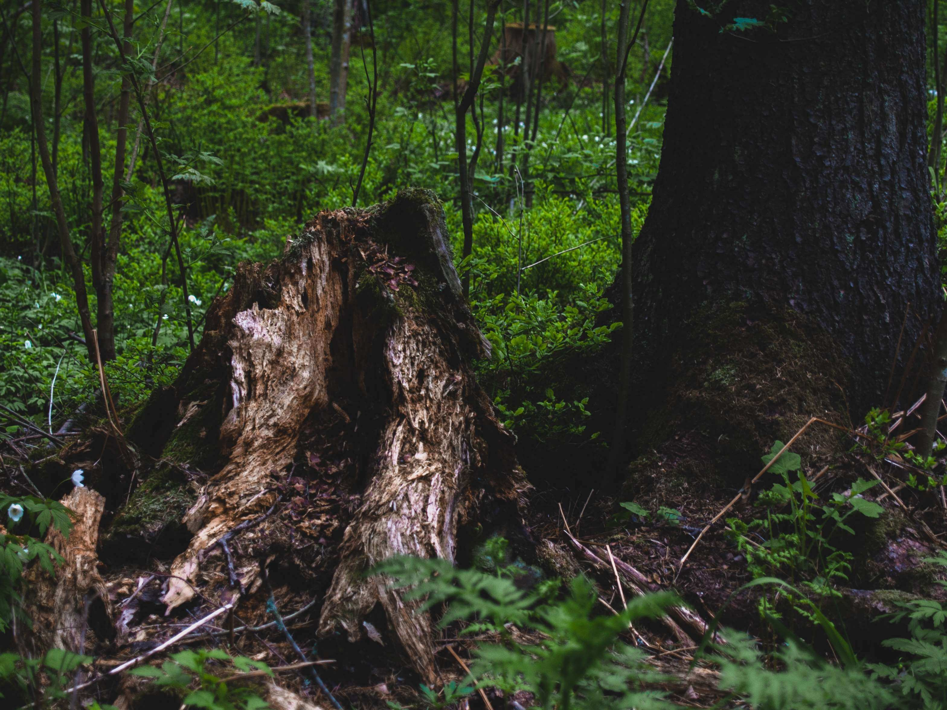 forest nature photography rot rotten stump tree stump woods
