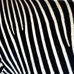 Zebra Prints for Walls Inspirational Zebra Print Wallpaper 49 Images On Genchifo